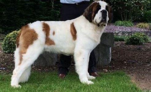 Post image for Clonmel's 'Bulabos Jack Of Diamonds' wins Best of Breed at Crufts 2017